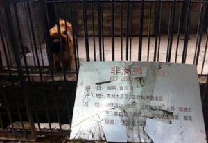 Un zoo en Chine fait passer un chien pour un lion