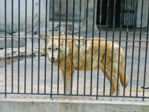 Loup Zoo de Guangzhou