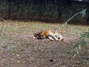 Kangourou Zoo de Guangzhou