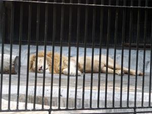 Lion Zoo de Guangzhou