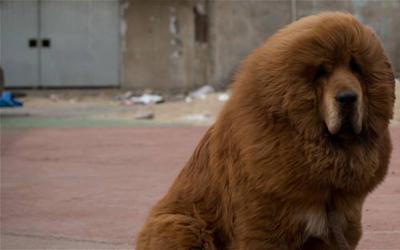 zoo chinois fait passer un chien pour un lion