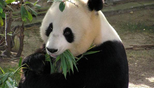 panda geant en Chine